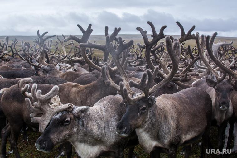 ЯНАО. Тундра + досрочные выборы, олени, стадо