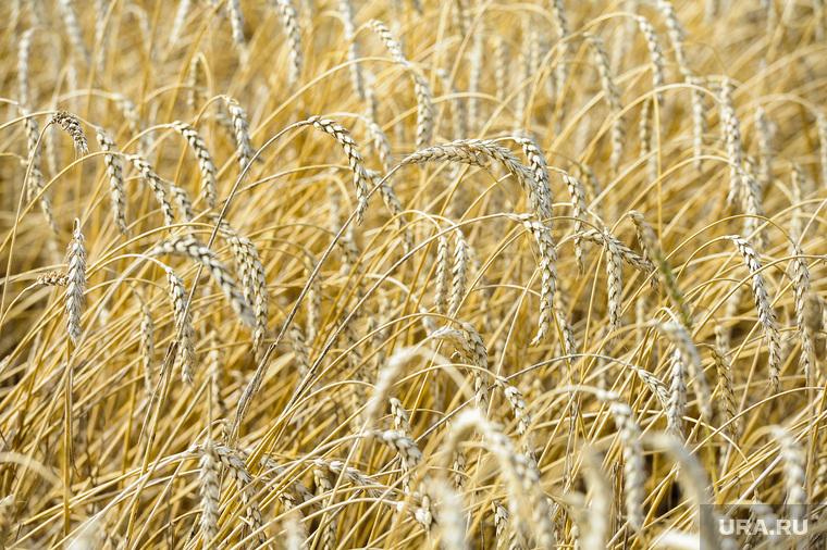 Дубровский и пшеница Челябинск, поле, пшеница, урожай, нива, колосья