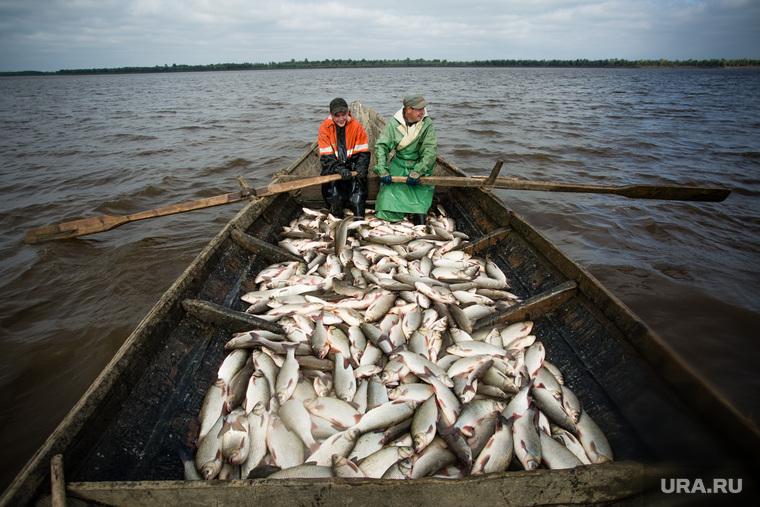 Добыча рыбы в Сургутском районе. Сургут, рыбаки, улов, рыба, гребцы, язь, лодка, на веслах
