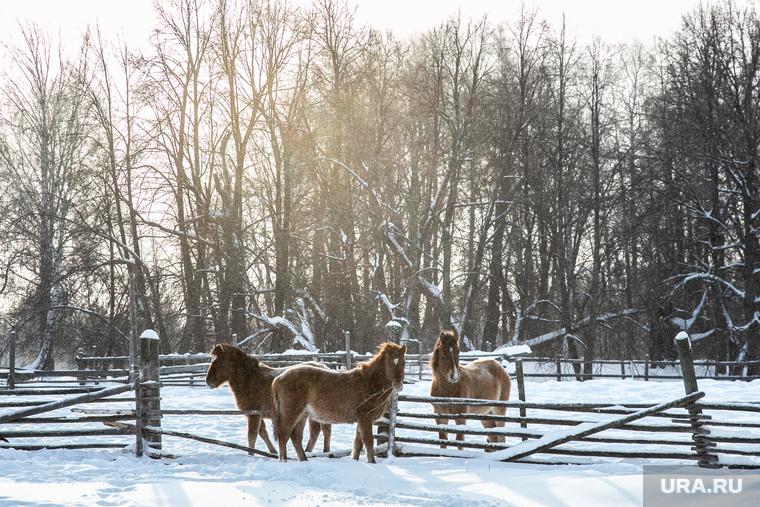 ЗаболотьеТюменская область., лошади, кони, зима