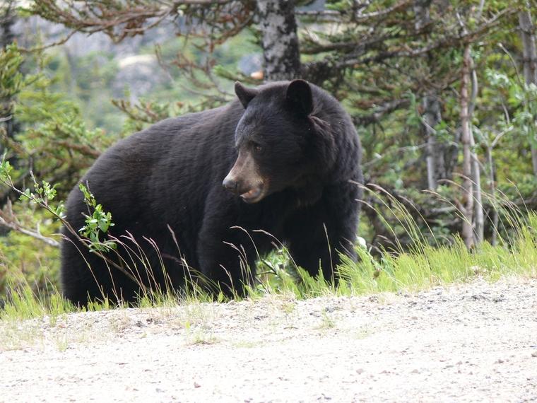 Медведь попытался напасть на инкассаторов на Ямале. ВИДЕО