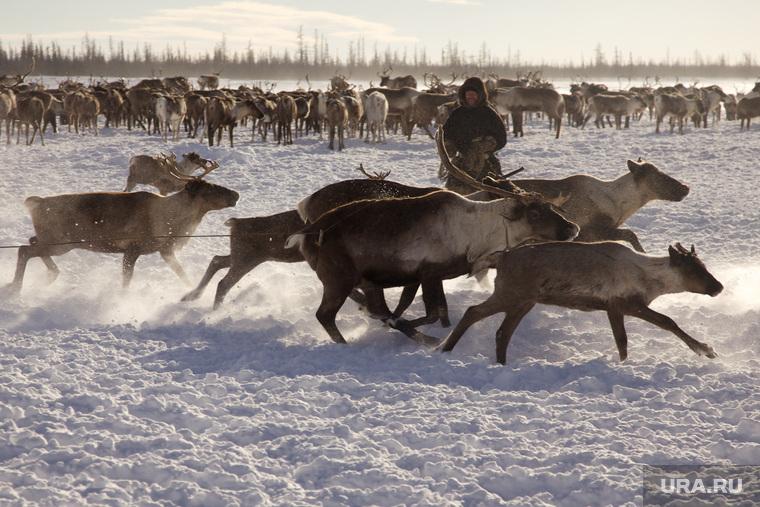 Быт Ямальских оленеводов. , манси, олени, север, оленеводы, ханты, аборигены, стадо оленей, кмнс