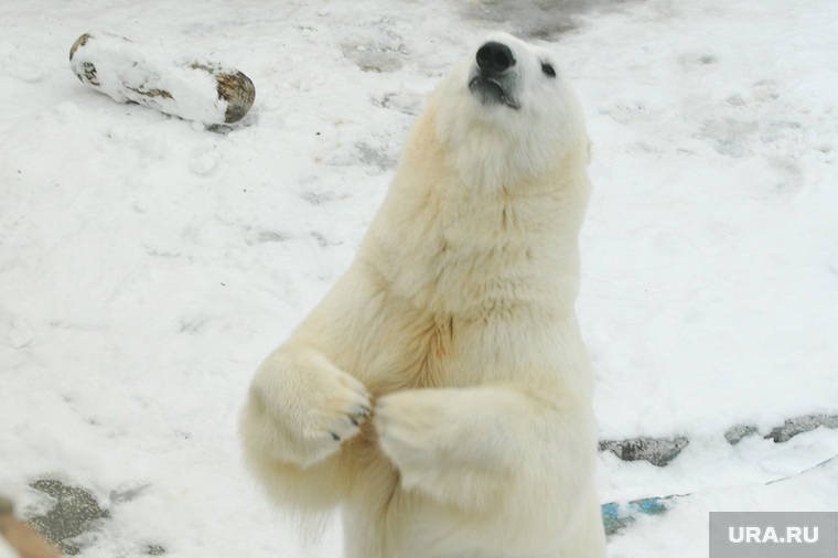 Белый медведь группа сексвидео