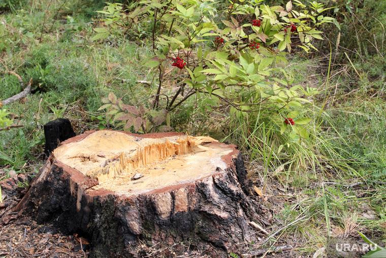 Вырубка леса КГСХА Курганская область, пень