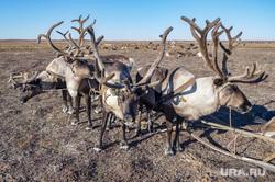 Ямальский район, Яр-Сале, оленеводы, олени, тундра
