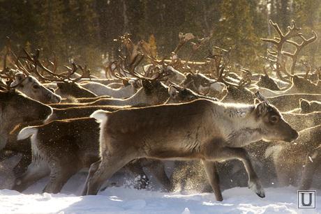 Быт Ямальских оленеводов. , манси, олени, север, оленеводы, кнмс, ханты, аборигены