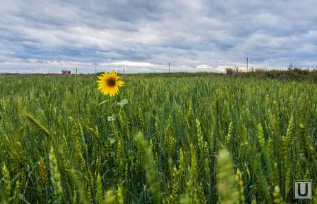 Клипарт. Август. Часть IV, поле, природа, лето, подсолнух
