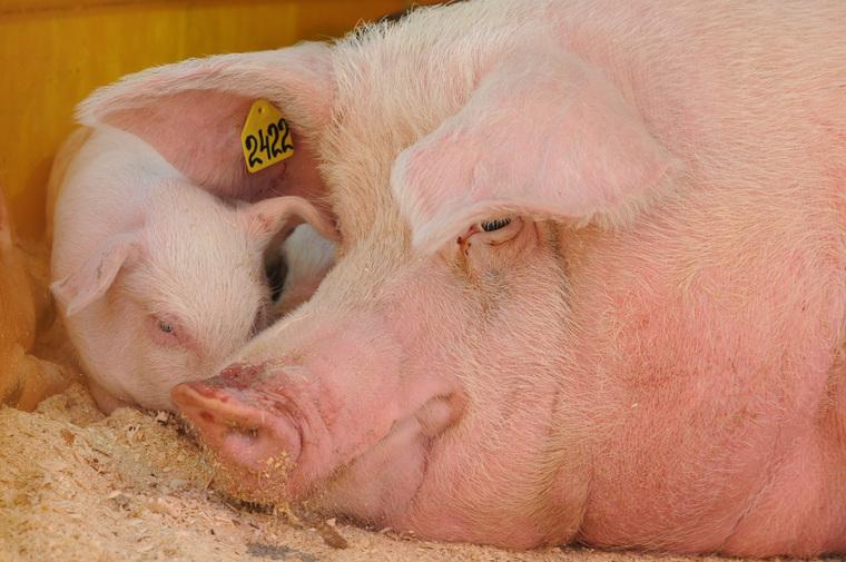 Сельское хозяйство. Животные. Челябинск, свинья, поросенок, животноводство, сельское хозяйство