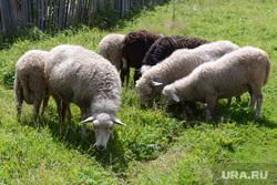 Дубровский Верхнем Уфалее. Челябинск., овцы, скот, баран