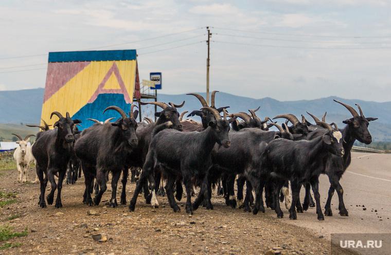 Клипарт. Челябинская область, стадо, животные, козлы