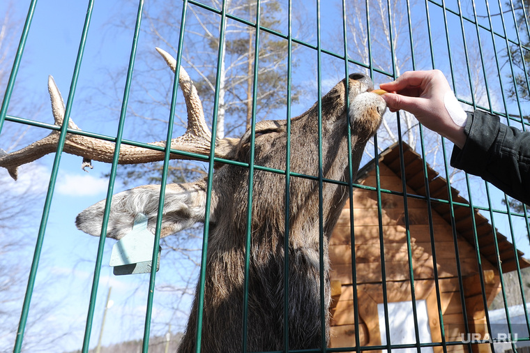 Контактный зоопарк. Челябинск., олень, зоопарк