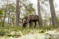 Ханты. Сургутский район, сибирь, олени, животные, тайга