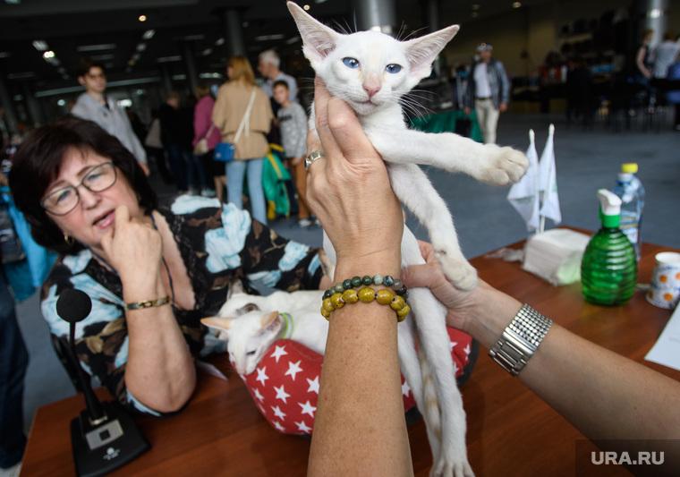 Выставка кошек ко Дню города Екатеринбурга, кот, котенок, осмотр, домашний питомец, порода сиамская, сиамская кошка