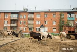 Локосово. Сургутский район, коровы, домашний скот, село, локосово