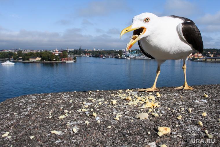 Виды Стокгольма. Швеция, кормление птиц, агрессия, птица, чайка