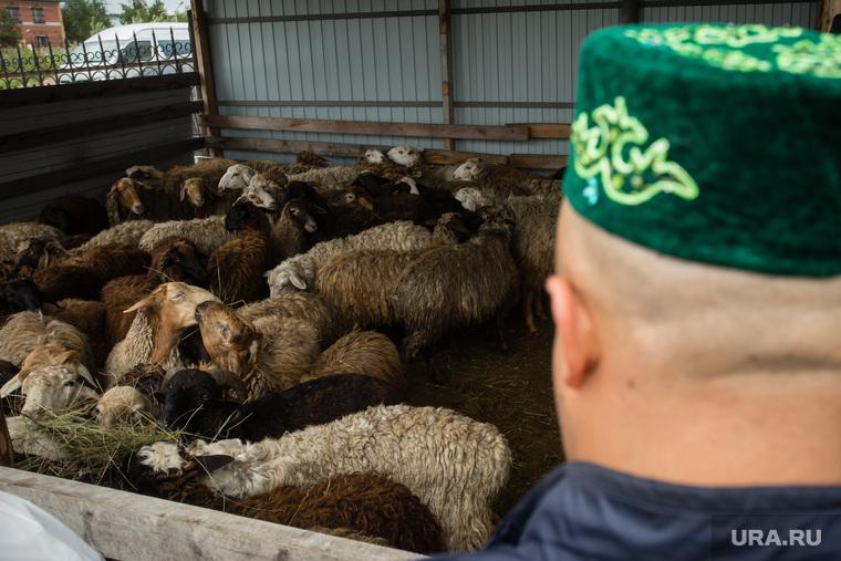 Курбан-байрам. Сургут, домашний скот, курбан байрам, бараны, стадо баранов