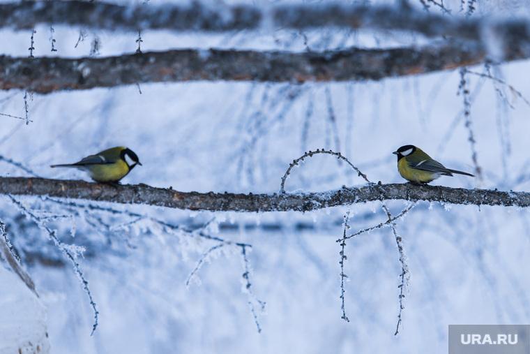Зима в Кургане, зима, птица на дереве, синички