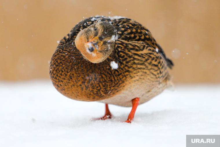 Кормление голубей и уток в ЦПКиО. Клипарт. Курган, утка, водоплавающая птица