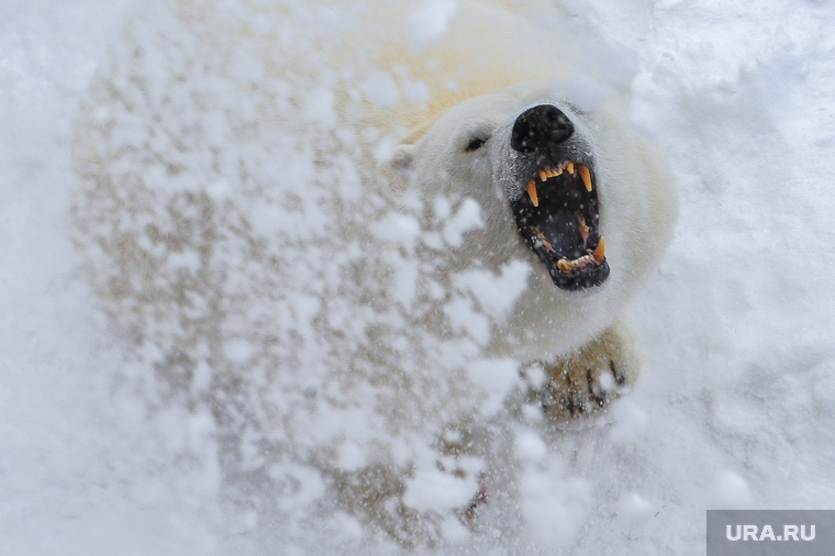 Белый медведьЧелябинск