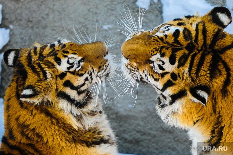 Амурские тигры. Челябинск