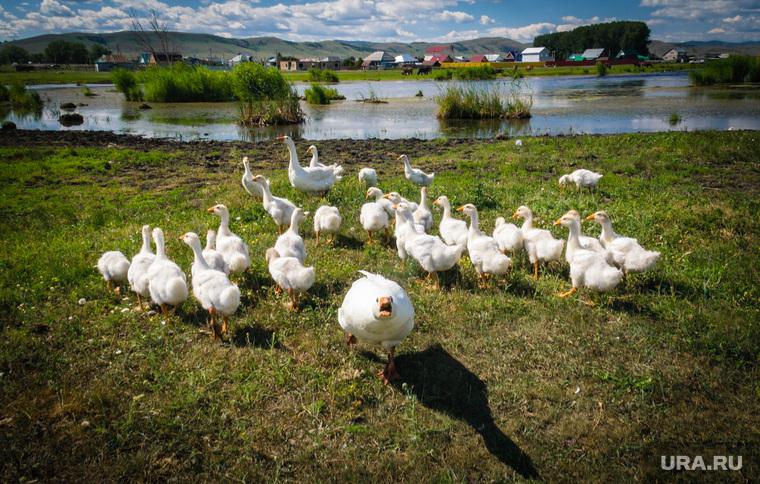 Клипарт. Магнитогорск, деревня, гуси, лето, водоем
