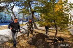 Высадка даурских лиственниц Алексеем Текслером на проспекте Ленина. Челябинск