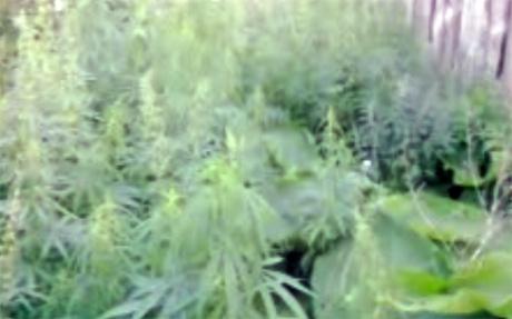 Где растет конопля в свердловской области прикол курит коноплю