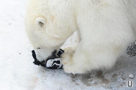 Хоккеист в зоопарке. Челябинск., зоопарк, белый медведь, алтын