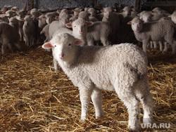 Клипарт. Екатеринбург, овцы, ягненок, животноводство, сельское хозяйство
