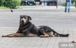 Клипарт. Челябинская область, дворняга, бездомная собака
