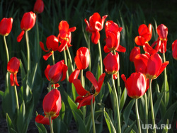 Клипарт, тюльпаны