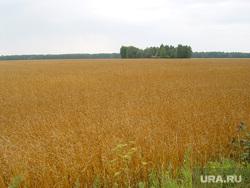 Пшеница Курганская область, поле, пшеница