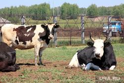 Коровы  Курганская область, коровы