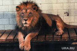 Челябинский зоопарк. Животные.Челябинск., лев, ричард, животное, зверь, млекопитающее