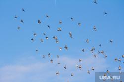 Клипарт. Ханты-Мансийск, голуби, птицы, небо