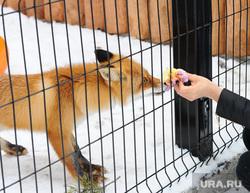 Челябинский зоопарк. Животные.Челябинск., зоопарк, решетка, лиса, животное, игра, зверь, млекопитающее