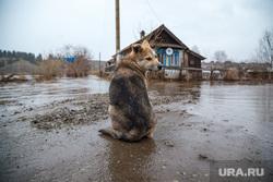 Наводнение. Староуткинск, собака, деревня, наводнение, староуткинск
