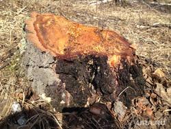 Поселок Придорожный. Кетовский район Курганской области , пень, свежий спил дерева