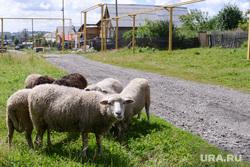 Дубровский Верхнем Уфалее. Челябинск., деревня, овцы, скот, газификация, баран, село