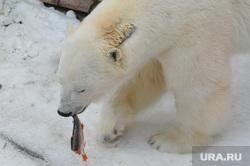 Челябинский зоопарк. Животные.Челябинск., белый медведь, алтын, животное, хищник, зверь, ест рыбу, млекопитающее