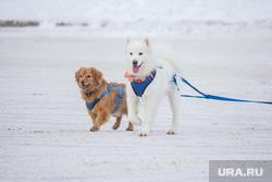 Ездовые собаки. Ханты-Мансийск, упряжка, ездовые собаки, самоедская лайка