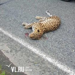леопард, земля леопарда, Приморье