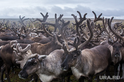 ЯНАО. Тундра + досрочные выборы, олени, стадо, тундра, арктика, стадо оленей