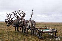 ЯНАО. Тундра + досрочные выборы, оленья упряжка, олени, тундра, арктика, кмнс
