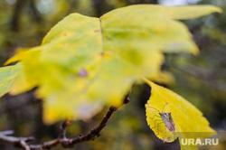 Клипарт. Екатеринбург, листва, желтый, клоп, осень