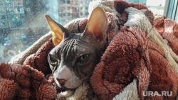 Лысая киска Альбины Челябинск, кошка, холод, кот, отопление, сфинкс