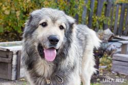 Клипарт 7. Нижневартовск, собака, друг, кавказская овчарка