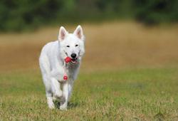 Открытая лицензия от 22.07.2016, пес, собака