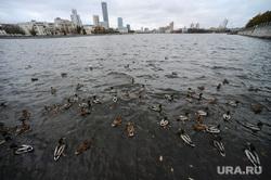 Грэм Филлипс в Екатеринбурге, утки, городские птицы, река исеть, городской пруд