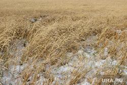 Алексей Кокорин в полях Курганская область, пшеница, урожай, снег